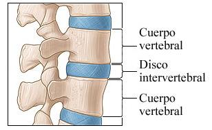 vertebras y discos de la columna
